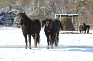 Horses on sunny January day
